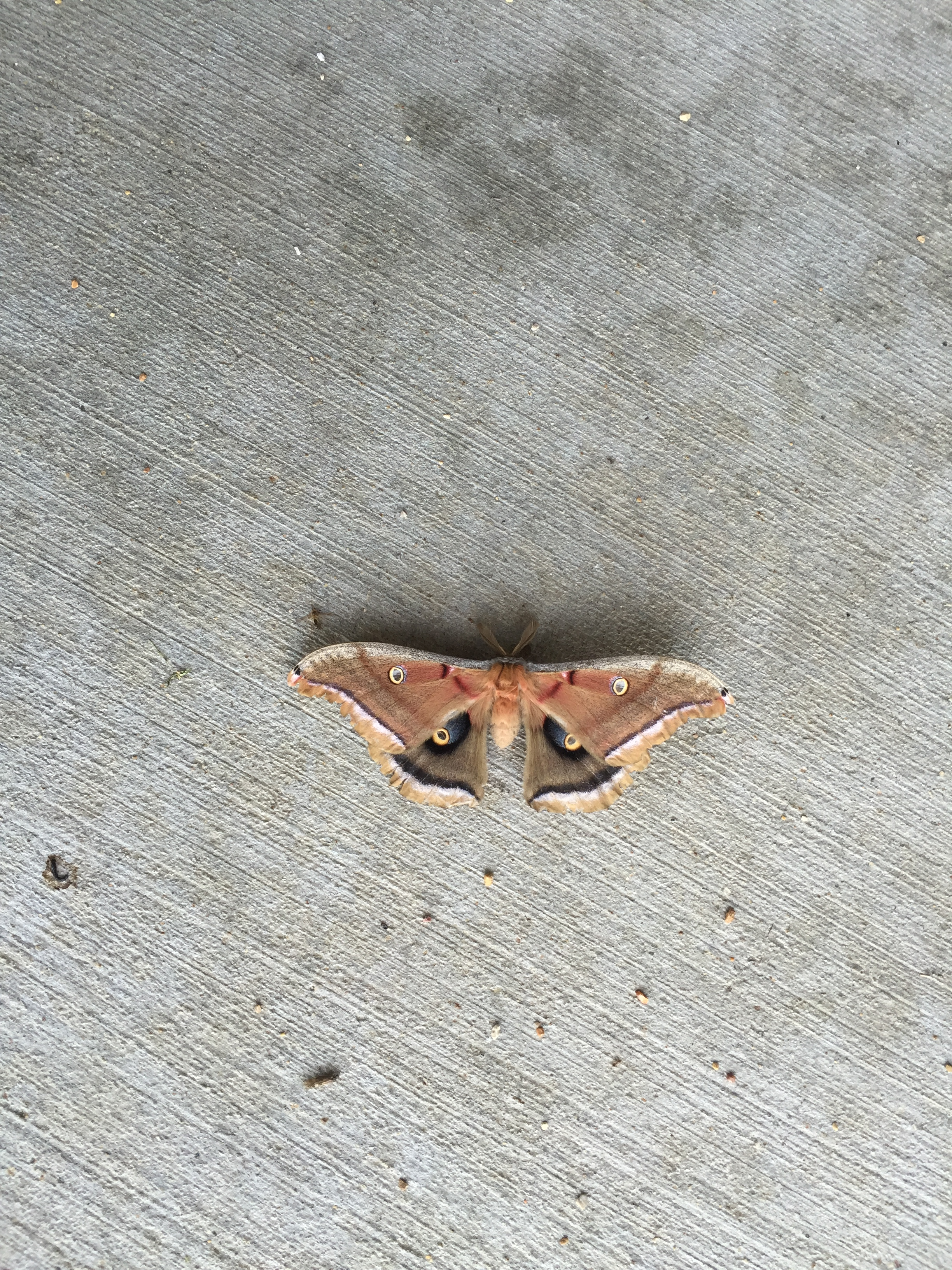 This polyphemus moth, Antheraea polyphemus, unfolded its wings for the photographer in front of the Feynman Computing Center one recent morning. Photo: William Barker, CCD