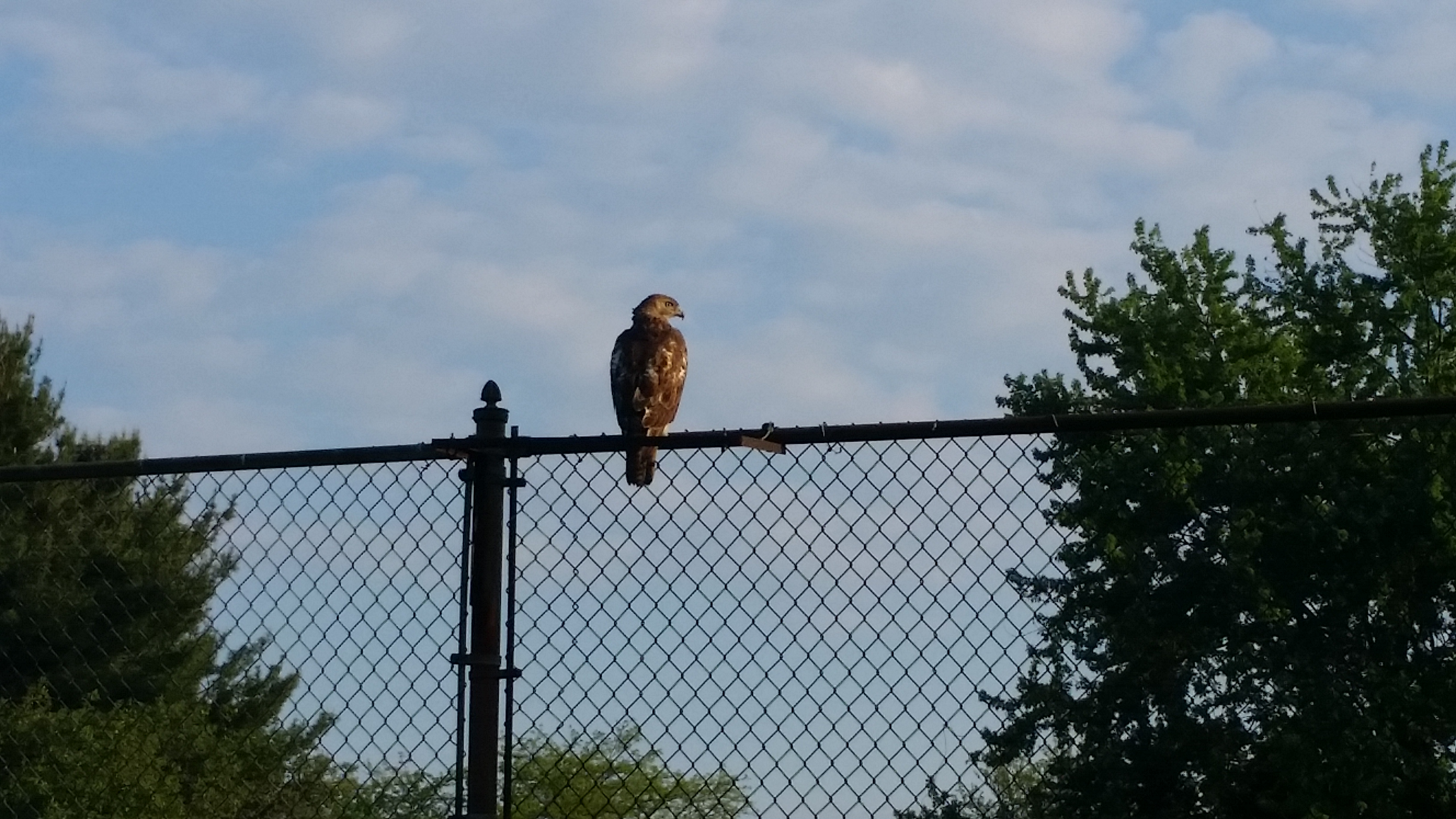 This hawk was captivated by a recent tennis match in the Fermilab Village. Photo: Josh O'Connell, AD