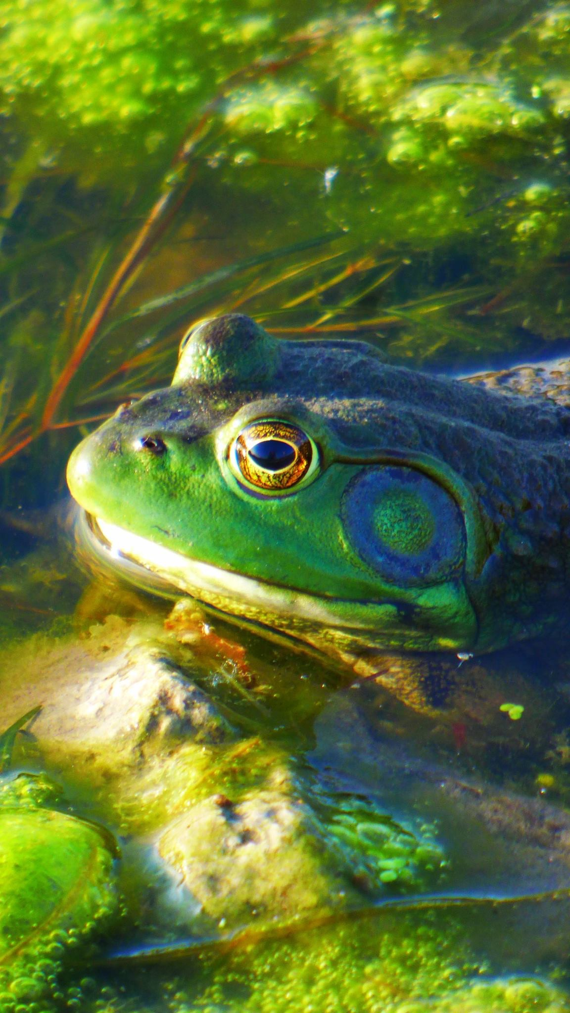 A bullfrog takes a dip in Swan Lake. Photo: Amy Scroggins, Abri Credit Union