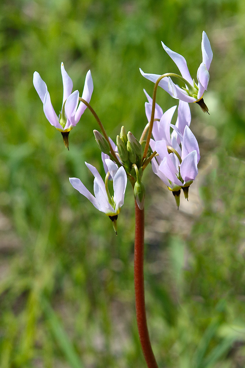 A shooting star blooms in the prairie along Pine Street. Photo: Gordon Garcia, Bartlett, Illinois