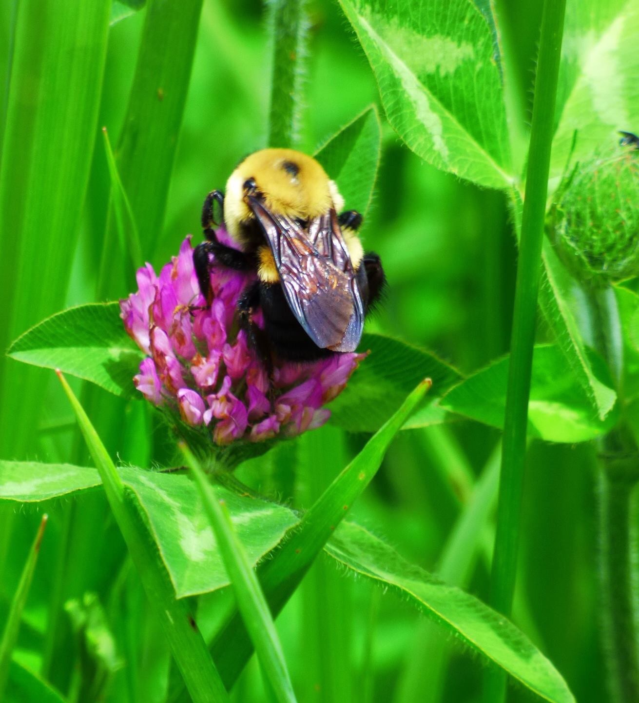 Bee on red clover, over and over. Photo: Amy Scroggins, Abri Credit Union
