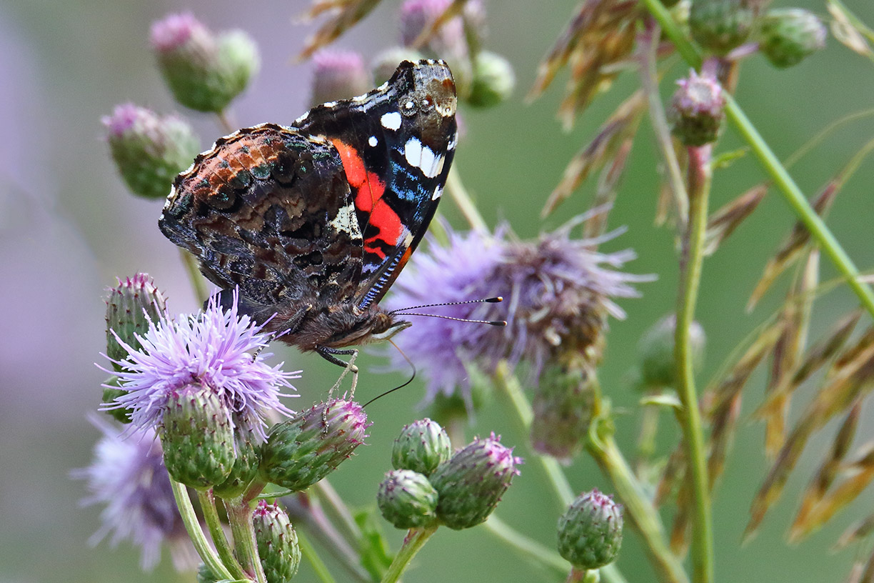 A red admiral butterfly alights on a flower on the hiking path on the east side of Lake Law. Photo: Gordon Garcia, Bartlett, Illinois