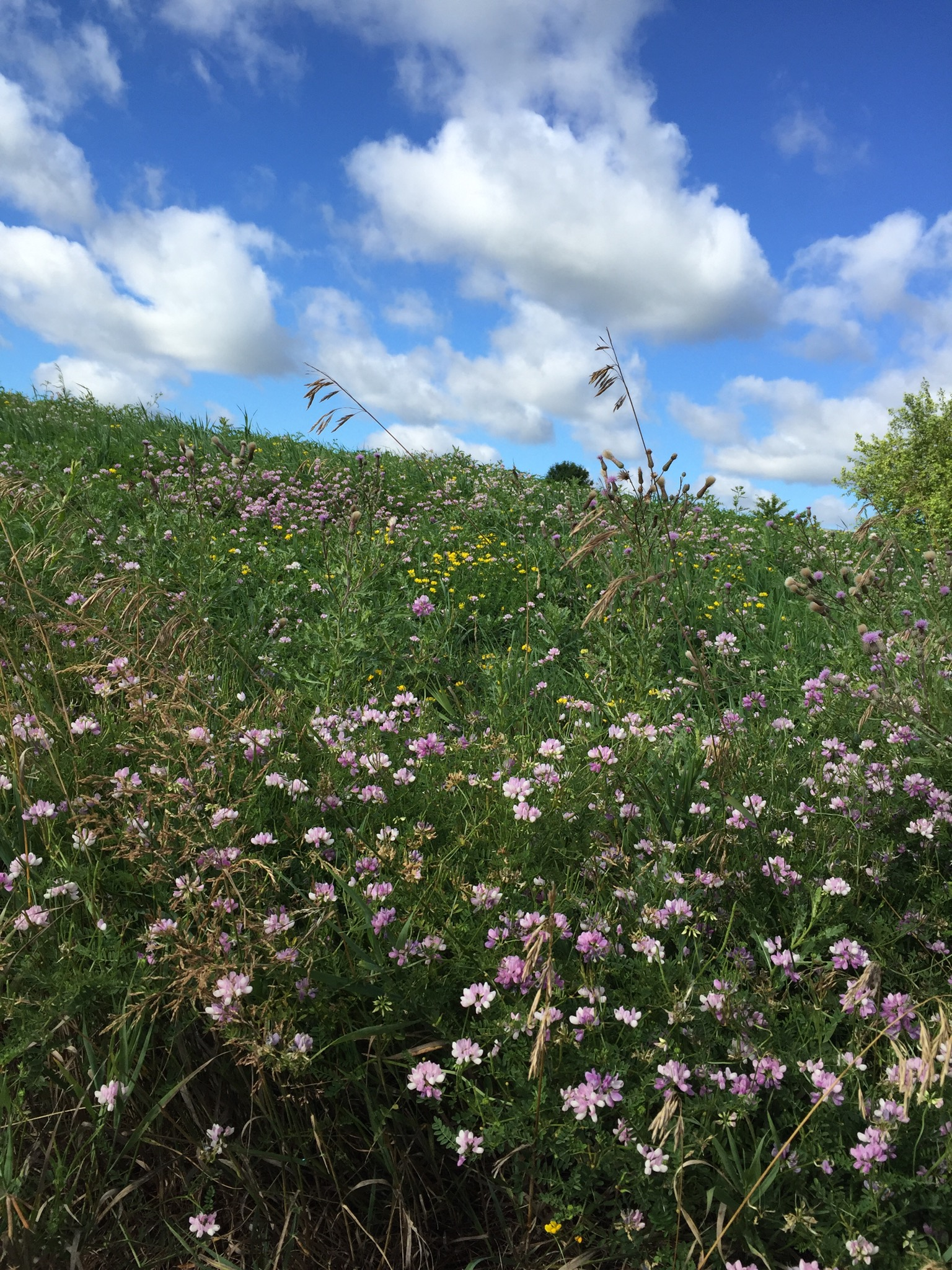 Crown vetch meets blue sky. Photo: Leticia Shaddix