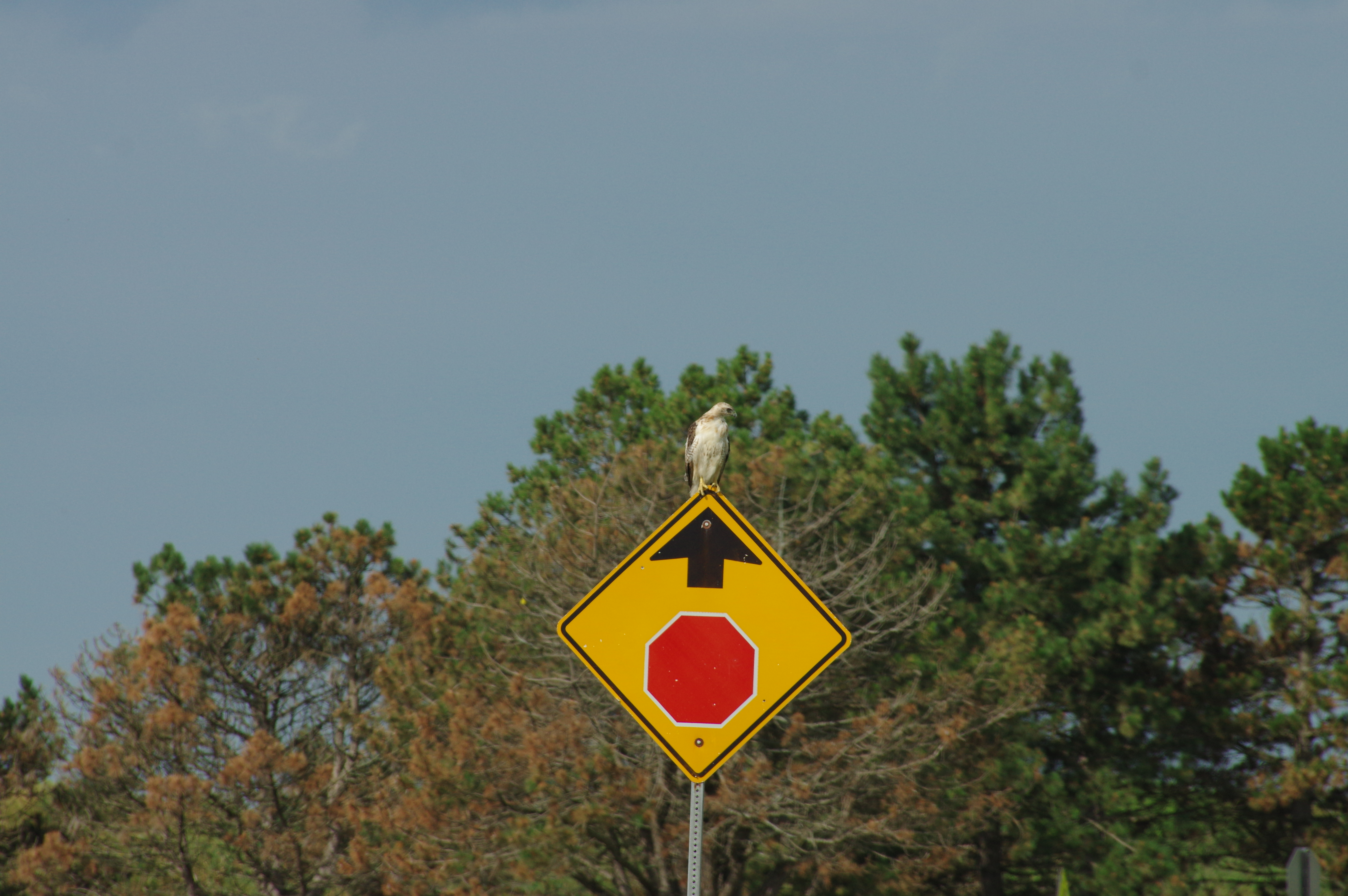 Early warning hawk: Security secures the employ of a hawk to ensure everyone's obeying traffic laws. Photo: Dan Johnson