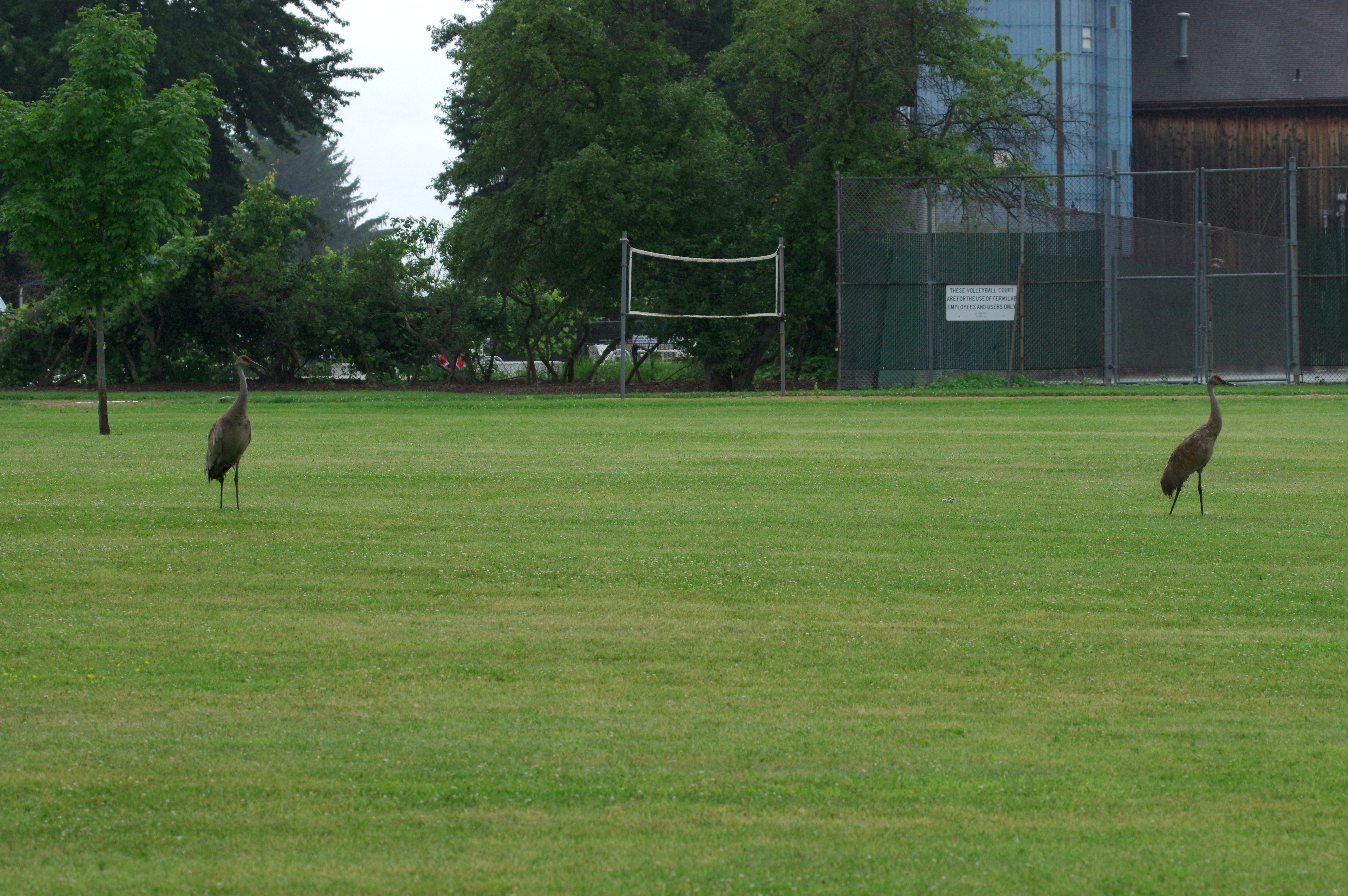 On a wet evening, a pair of sandhill cranes visit the softball field in the Village. Photo: Dan Johnson