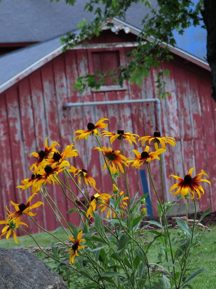 What could be more lovely than brown-eyed susans growing in front of a rustic barn? Photo: Amy Scroggins
