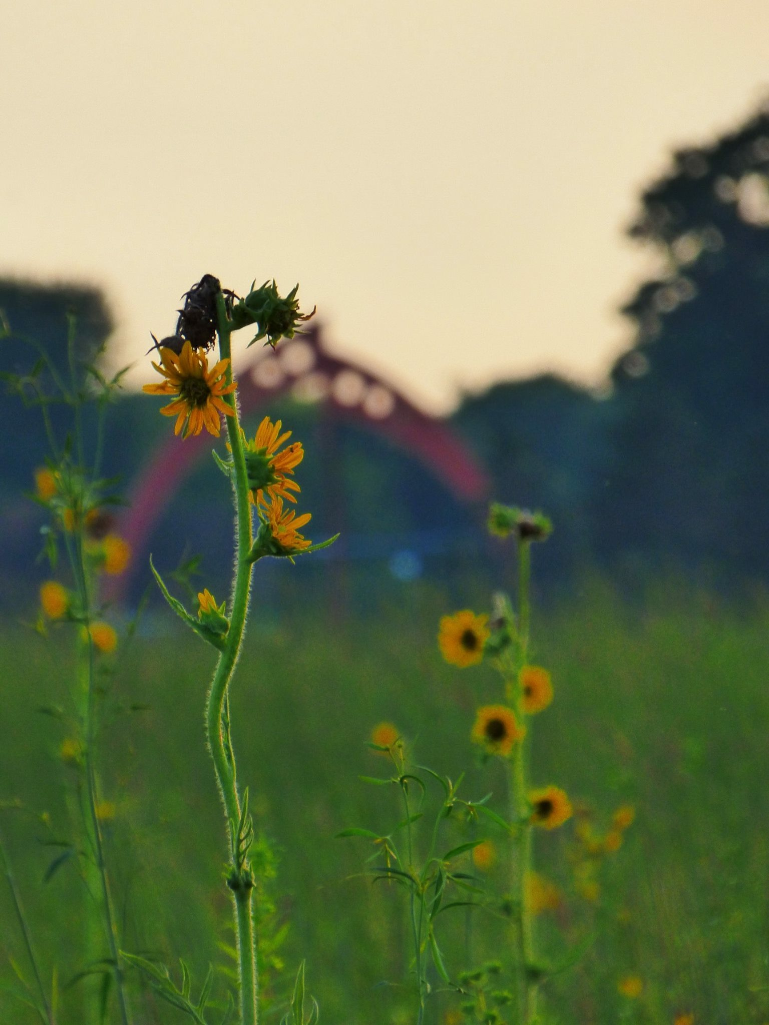 "Brown-eyed susans foreground the ""Broken Symmetry"" sculpture. Photo: Amy Scroggins"