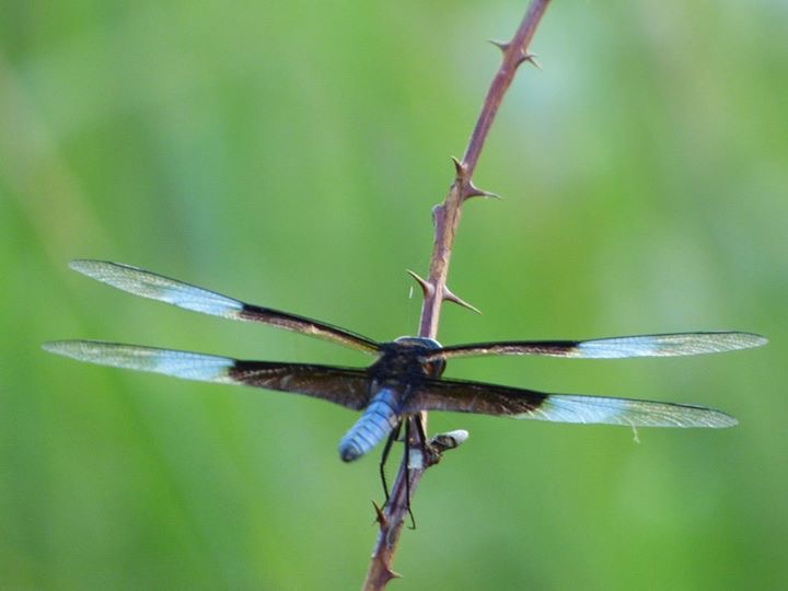 This male widow skimmer can be identified by his blue body and black bands. Males develop a white spot mid-wing. Photo: Amy Scroggins