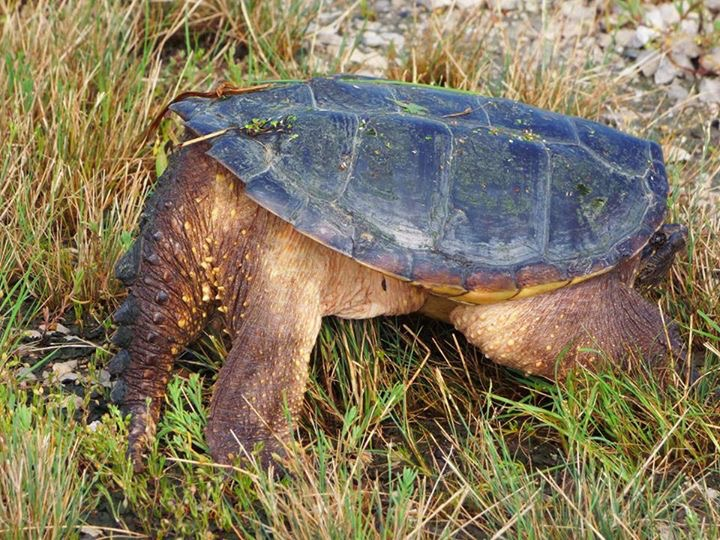 A snapping turtle practices adho mukha shvanasana (downward facing dog) in some grass near the pedestrian path. Photo: Amy Scroggins