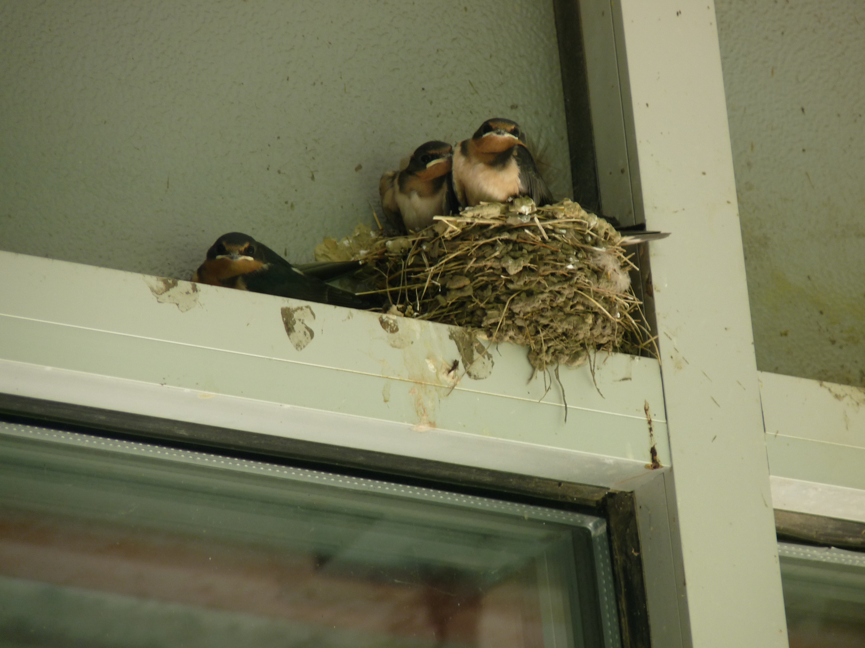 "The swallows at the BEG building say, ""We can't wait to soar with our parents!"" Photo: Barb Kristen"