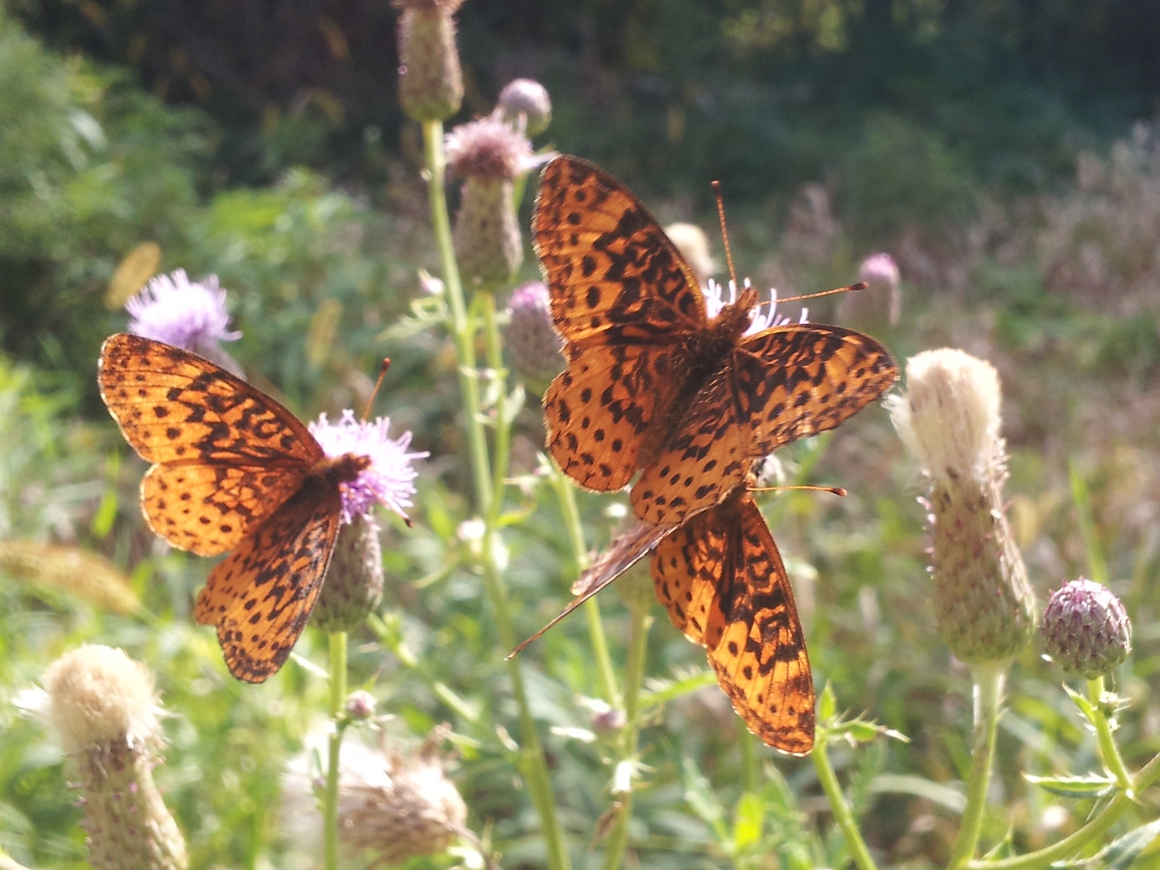 Great spangled fritillaries frolic in the grasses near the Main Ring. Photo: Martin Valenzuela