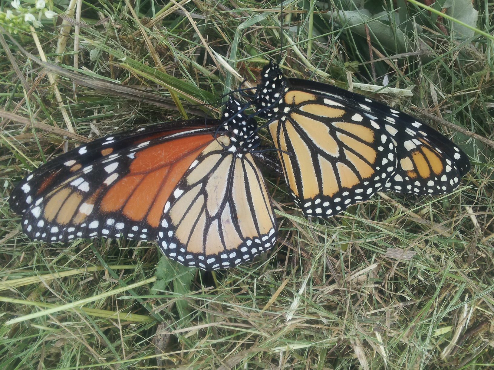 Monarch butterflies canoodle at Site 29. Photo: Martin Valenzuela