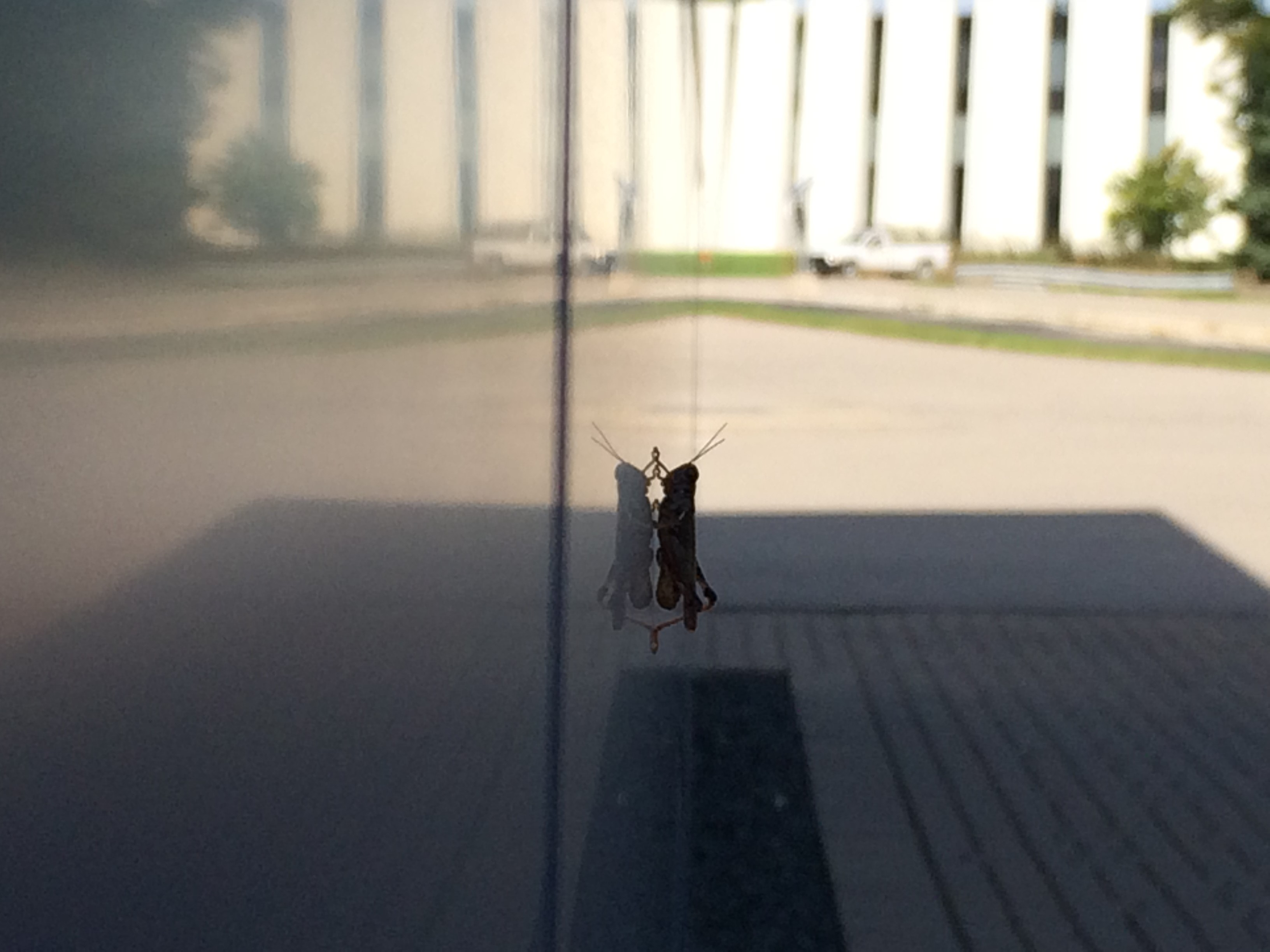 A grasshopper begins to scale the IARC walls. Photo: Aaron Sauers