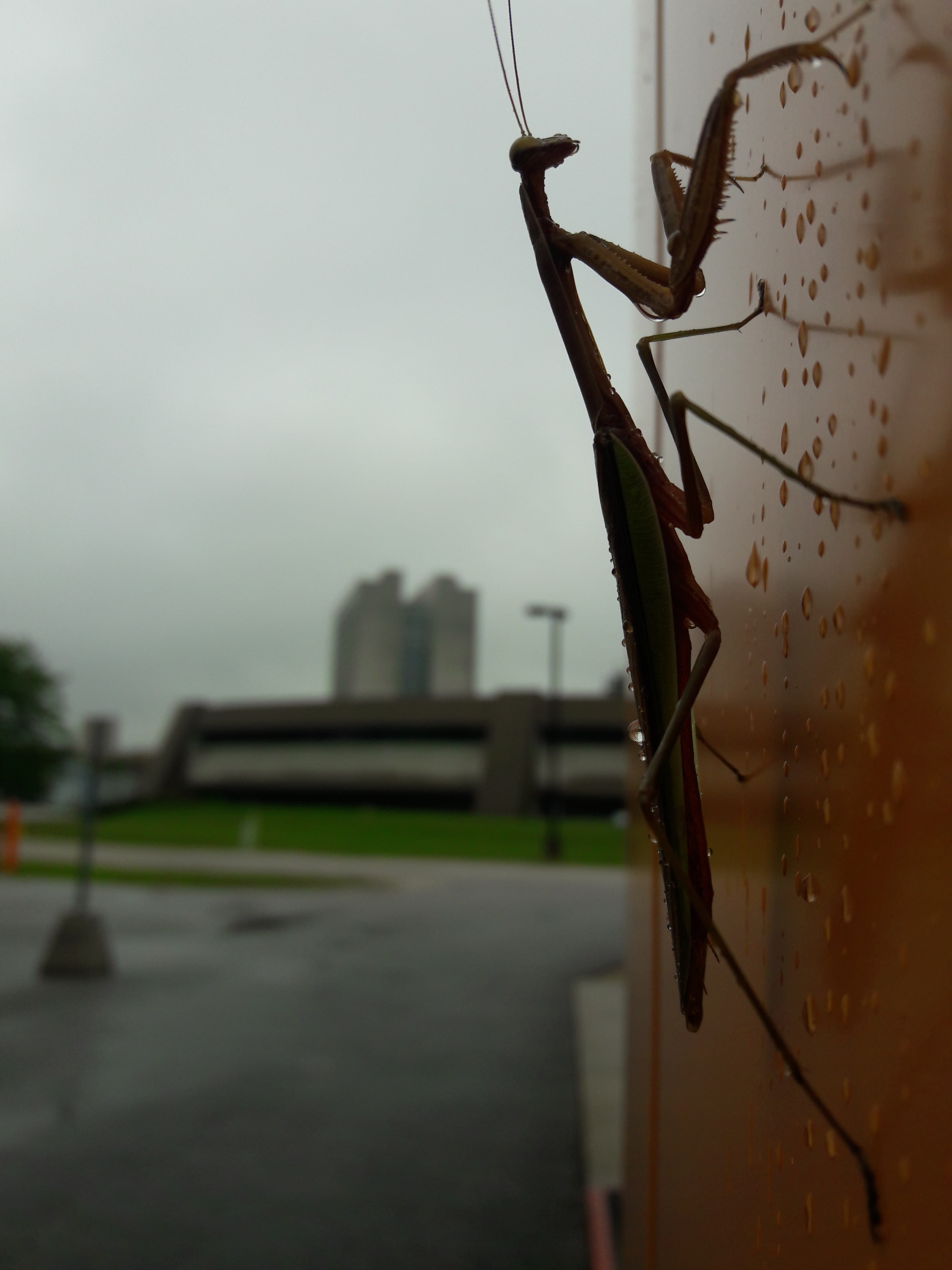 A praying mantis climbs the MC1 Building on a rainy day. Photo: Skyler Sherwin