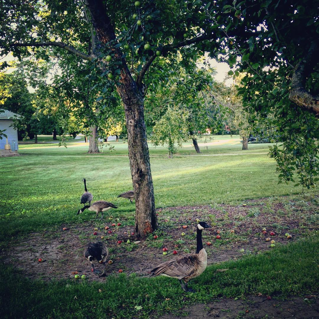 Geese go apple picking in the Village. Photo: Sudeshna Ganguly, University of Illinois at Urbana-Champaign