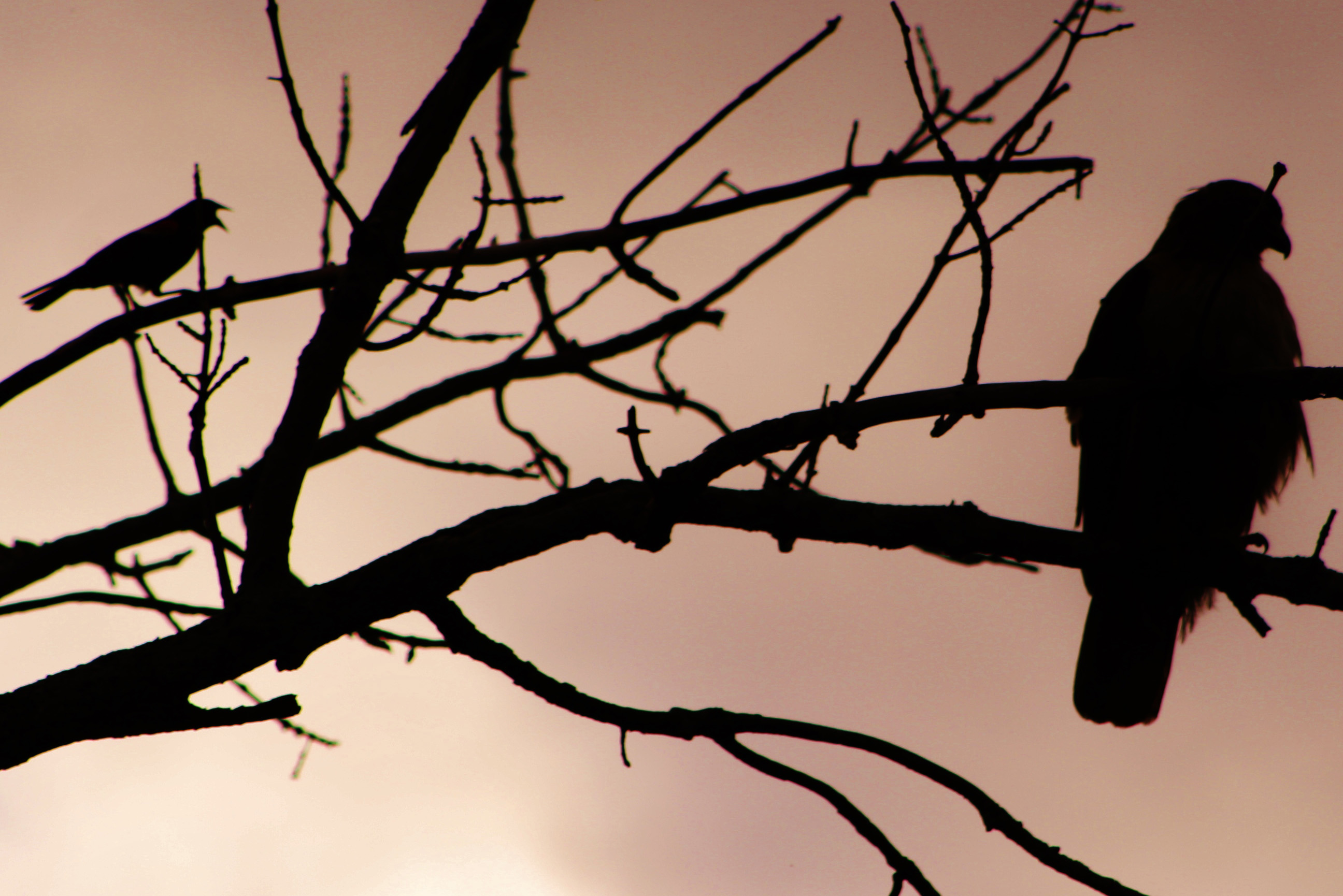 A red-winged blackbird (left) and red-tailed hawk take in the view from bare branches. Photo: Bridget Scerini, TD