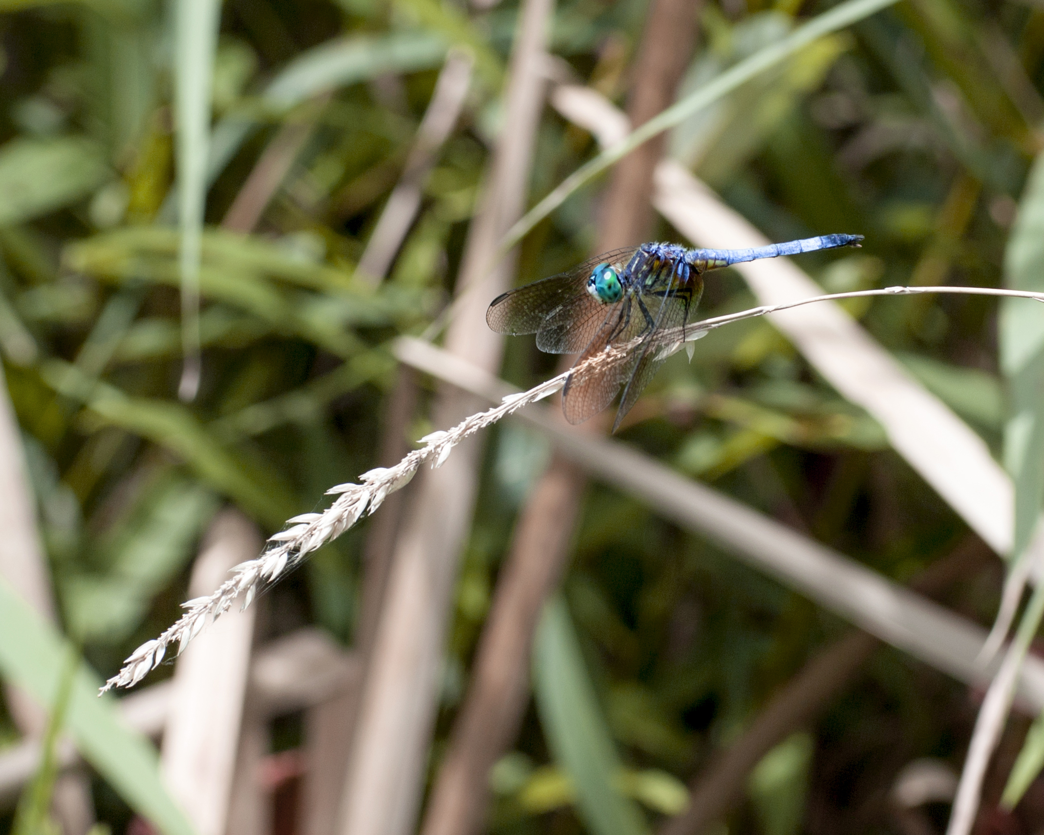 Grass bows under the weight of a blue dasher. Photo: Marty Murphy, AD