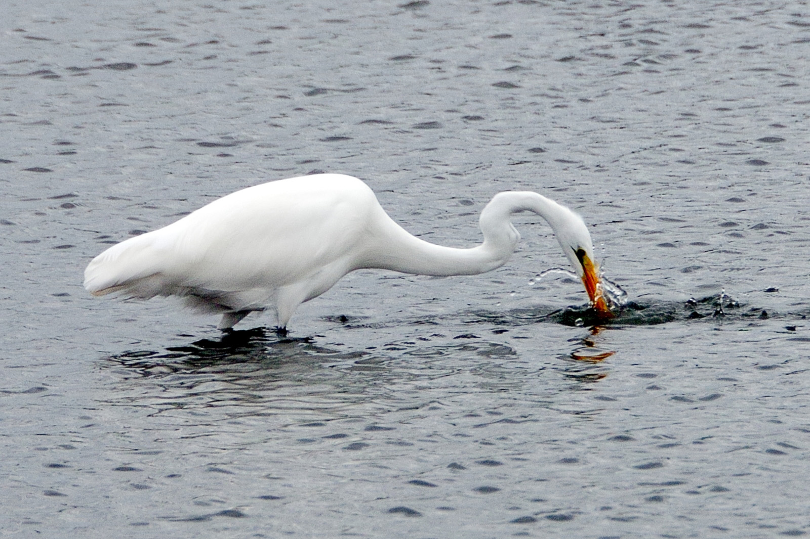 This hungry egret appears not to be as merciful as this one. Photo: Steve Werkema, AD