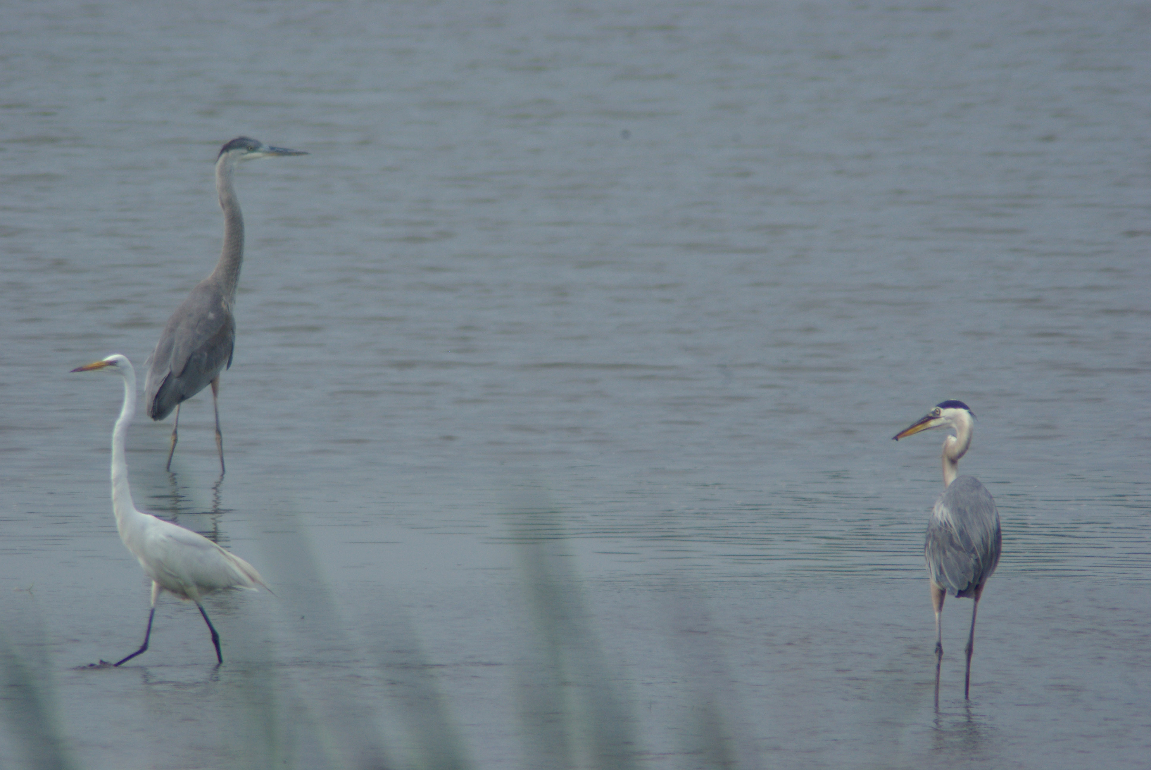 An egret walks away from two great blue herons at A.E. Sea. Photo: Barb Kristen, PPD