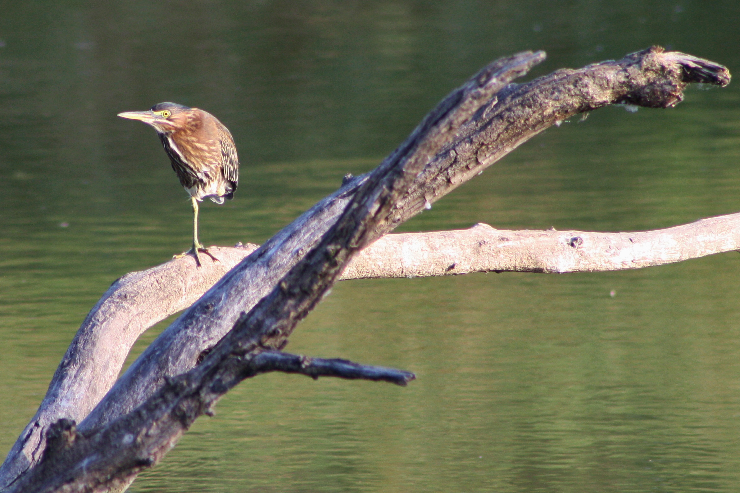 A green heron enjoys Bulrush Pond. Photo: Bridget Scerini, TD