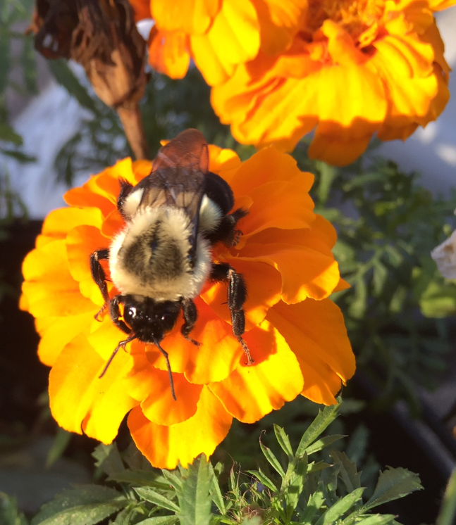 A bumblebee works diligently to collect pollen from a bright orange marigold. Photo: Dave Shemanske