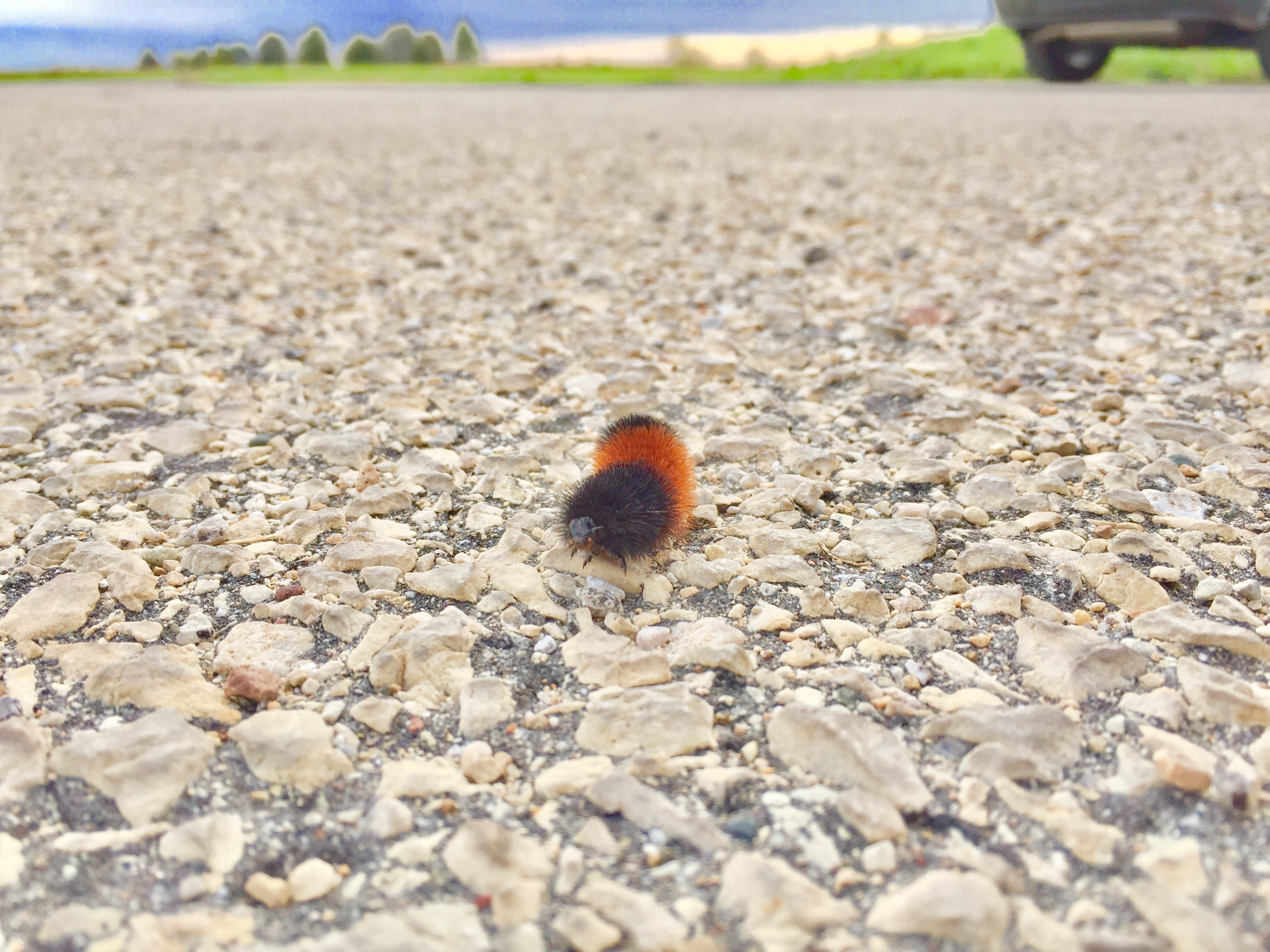 Why did the woolly bear caterpillar cross the parking lot? To find a safe spot to spend winter, that's why. In the spring it will spin a silky cocoon, and two weeks later it will metamorphose into a beautiful tiger moth. Photo: Leticia Shaddix