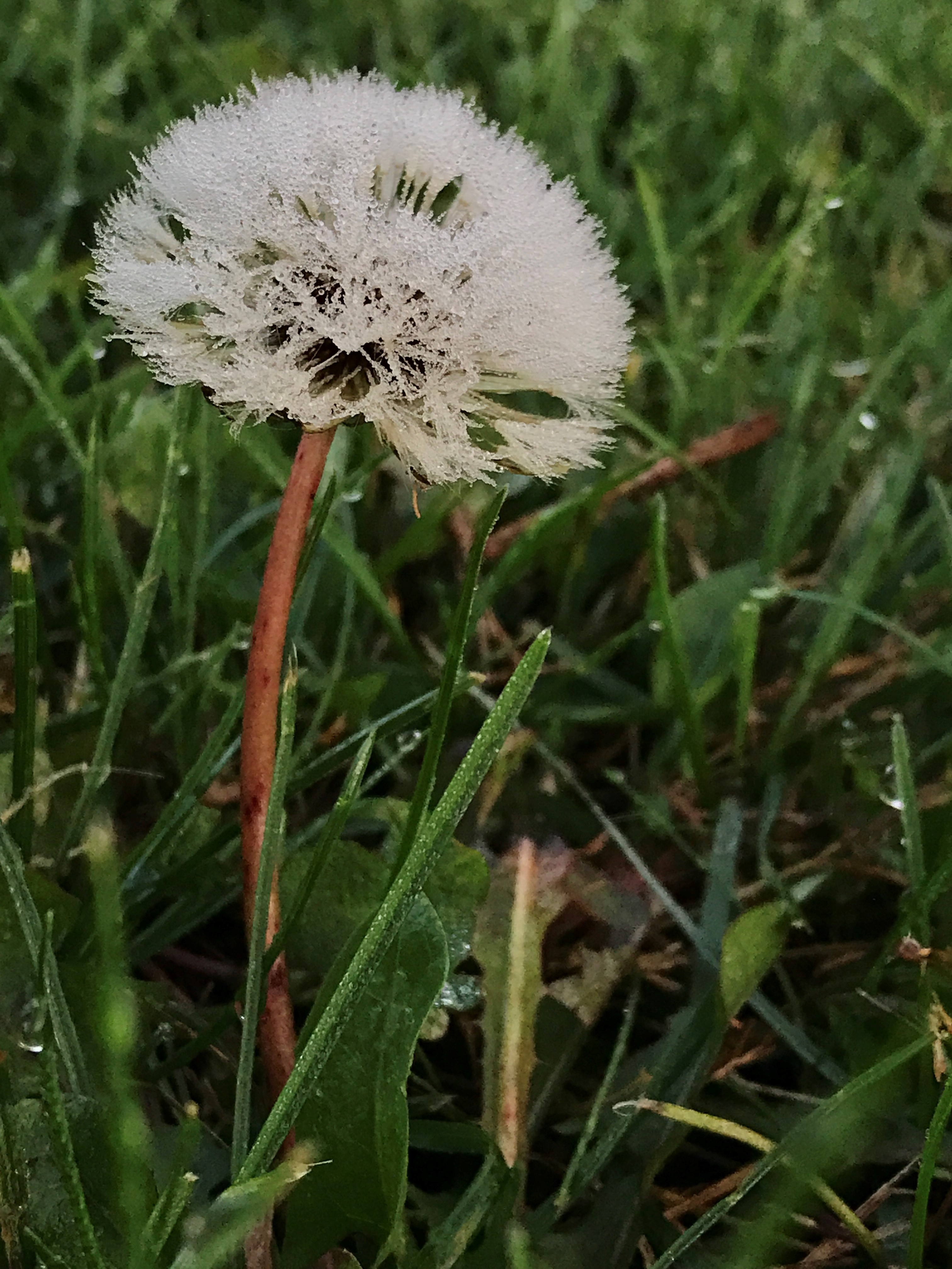 The white of a dandelion flower is intensified by frost on an early morning in October. Photo: Leticia Shaddix