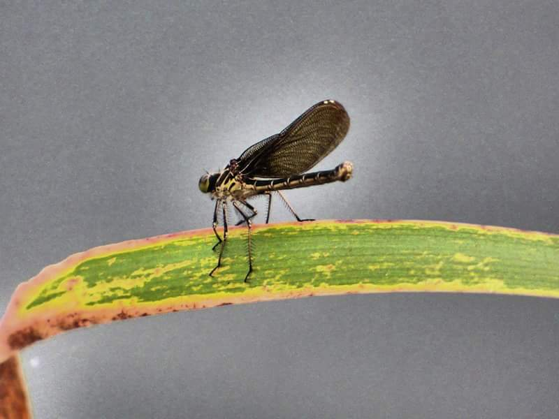 This damselfly, likely an American rubyspot female, was spotted X. Photo: Amy Scroggins