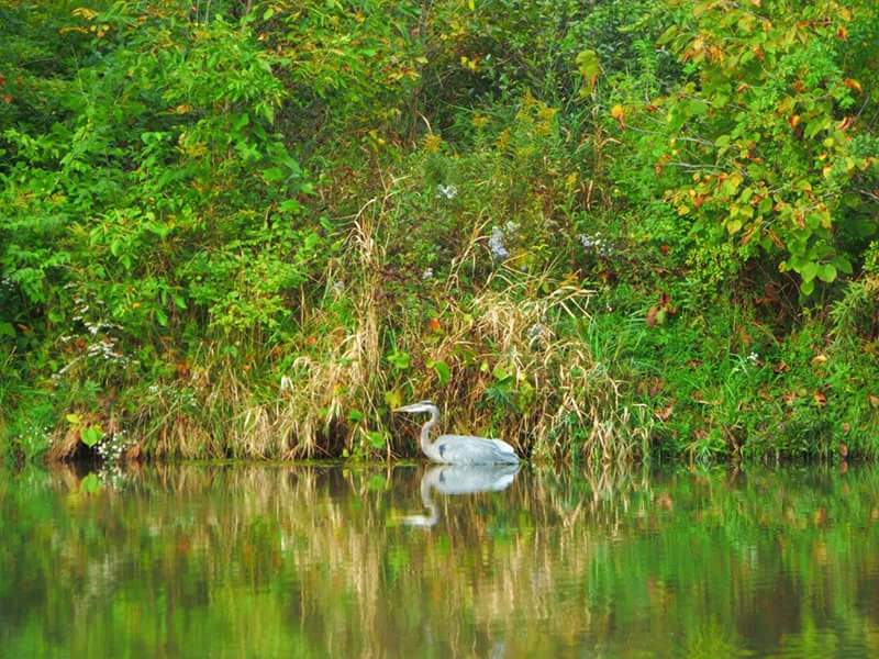 Throwback Thursday, to when leaves were green: a great blue heron allows itself to be the focal point of a verdant scene. Photo: Amy Scroggins