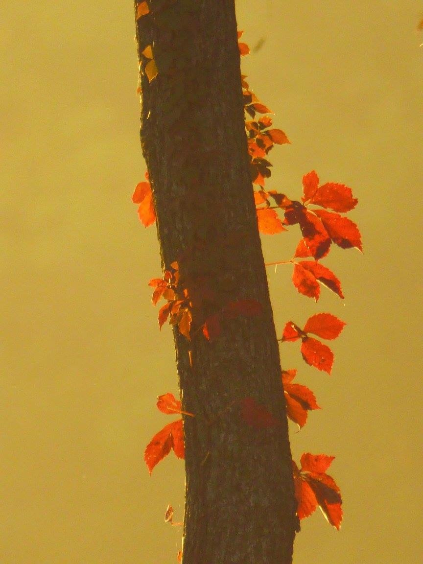 Fall Friday: This wonderfully simple photo of a Virginia creeper would make a very good print. Photo: Amy Scroggins