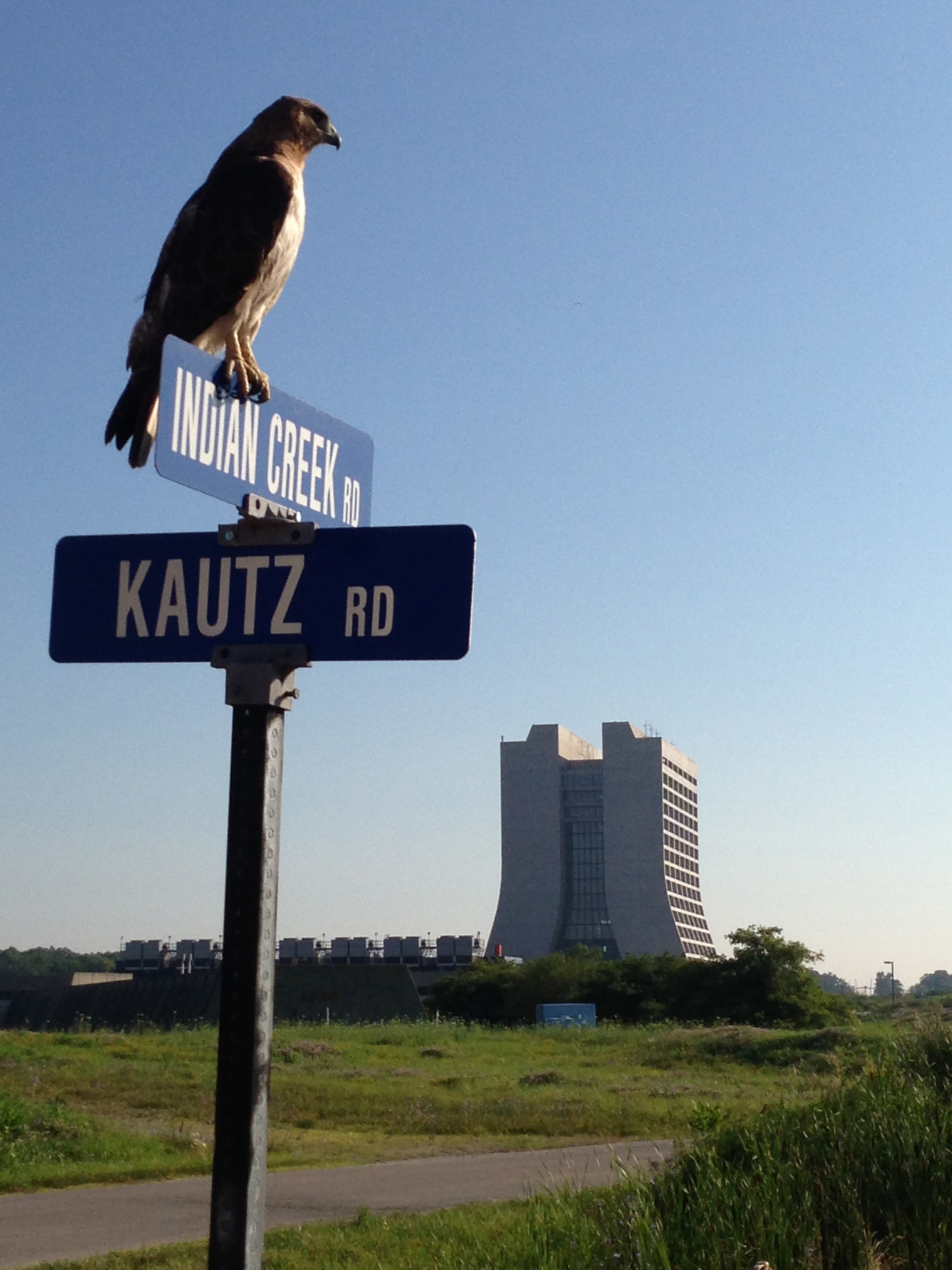 Hawks like perching on street signs. This hawk looks to Wilson Hall from the intersection of Indian Creek and Kautz roads. Photo: Ben Galan, AD