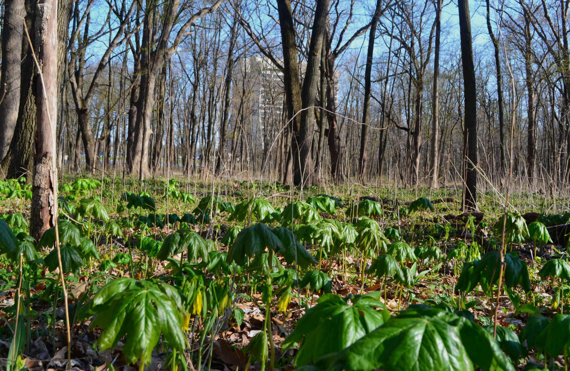 These mayapple flowers will bloom in a couple of weeks. Photo: Patrick Sheahan, AD