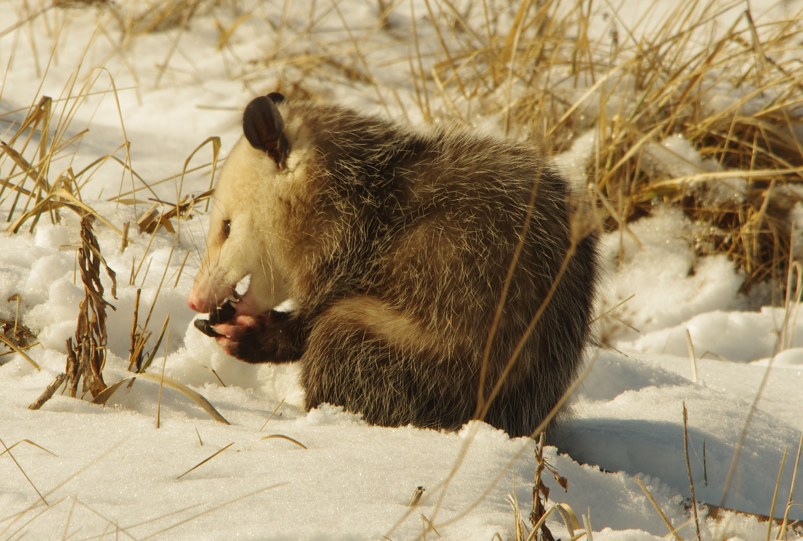 ...but then finds something to gnaw on. Photo: Dan Johnson, AD