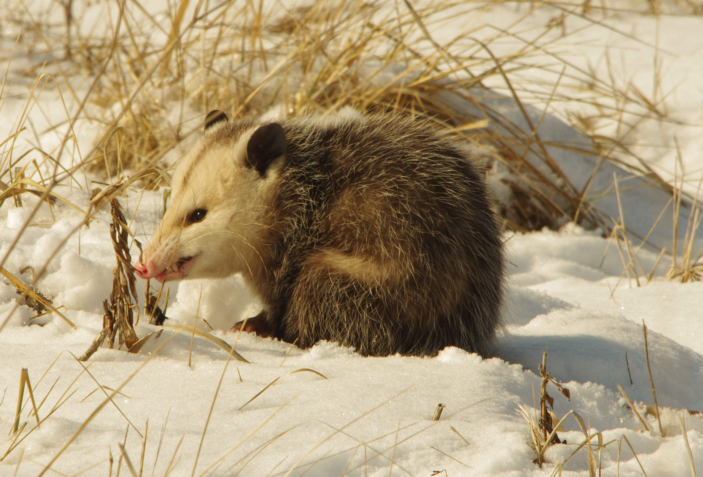 The opossum becomes discontent... Photo: Dan Johnson