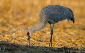 Sandhill cranes are annual visitors to Fermilab. Photo: Tina Smith