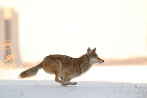 A coyote speeds Through snowy weeds Toward the Main Injector. Perhaps he spies, With fiery eyes, A sign of El Dark Sector. Photo: Denton Morris, AD