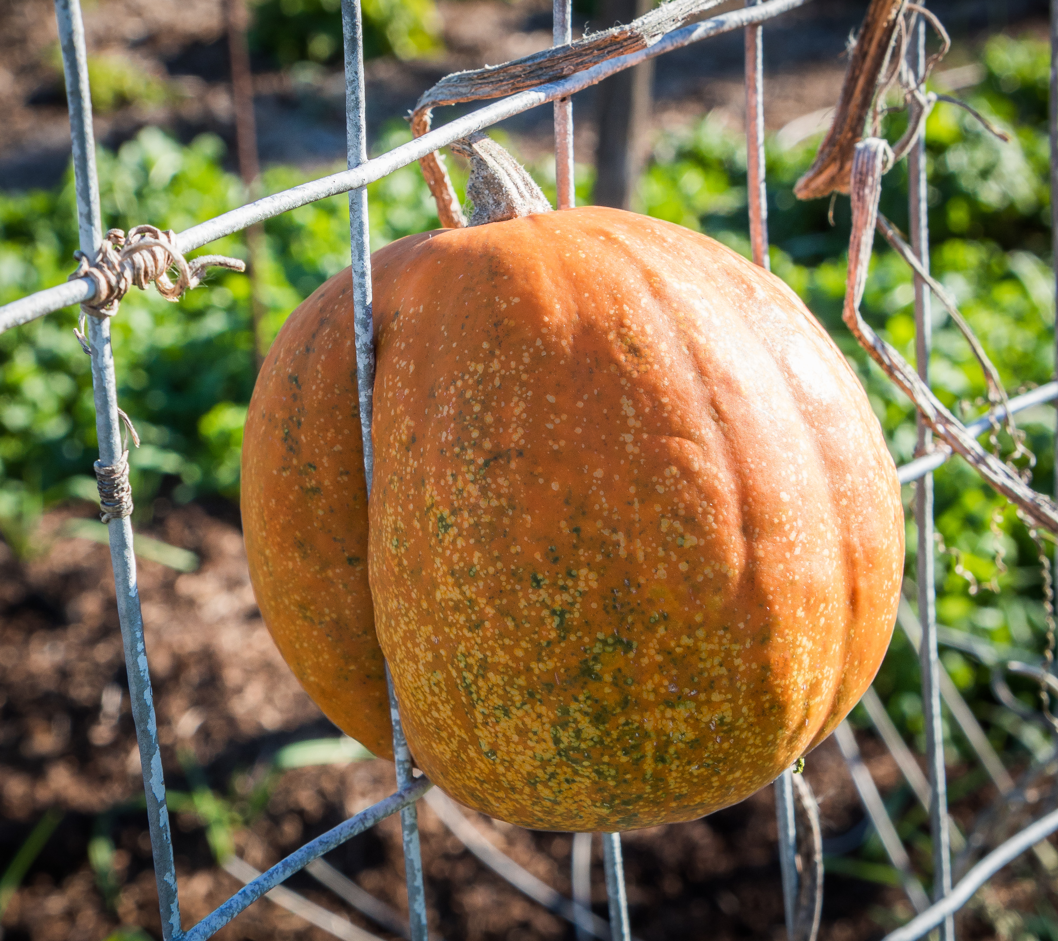 This little pumpkin has been growing in the fence in the Fermilab Garden area. Photo: Elliott McCrory