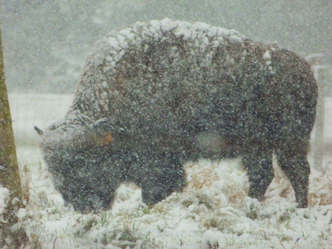 We look back to the first snowfall of the season, which the bison surely enjoyed. Photo: Amy Scroggins