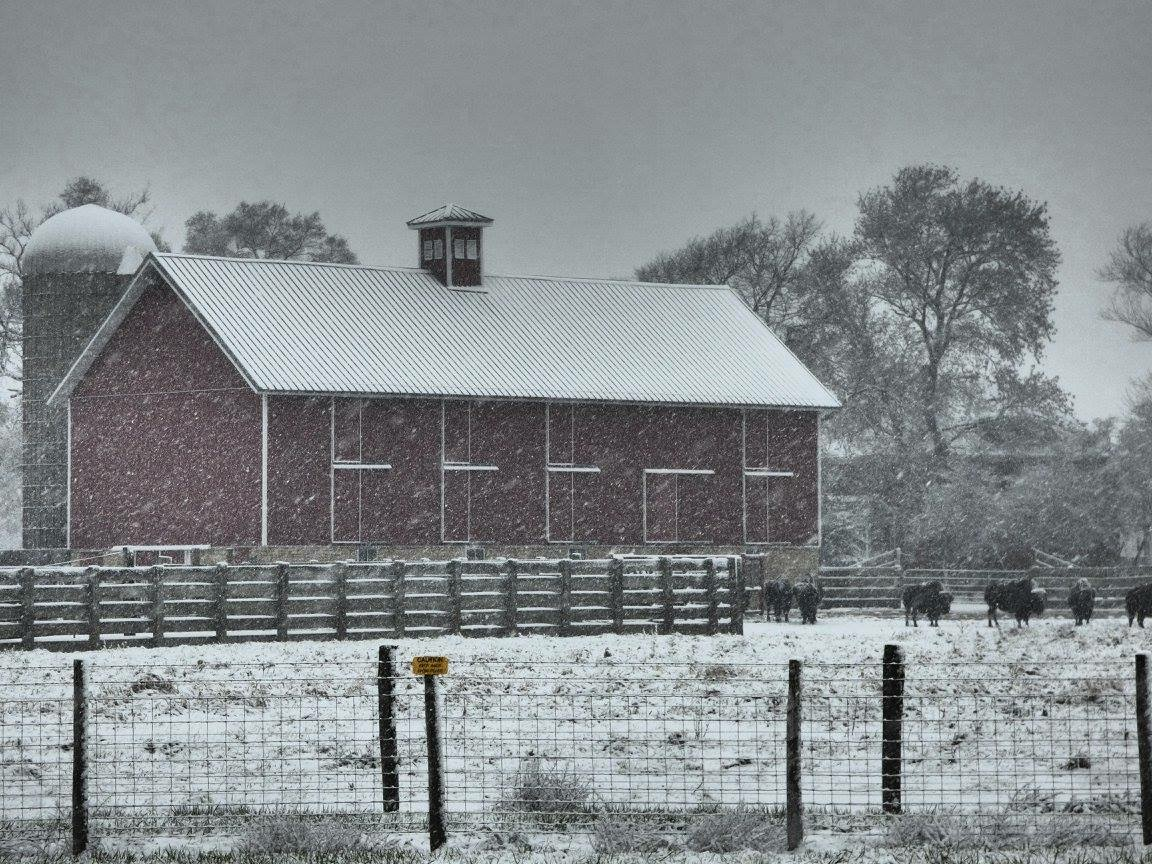 The first snow of the season, Dec. 4, powders Feldott Farm and the resident bison. Photo: Amy Scroggins