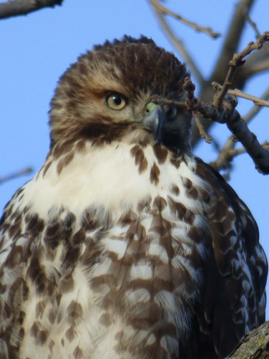 Face To Face With A Hawk News