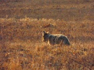 A coyote heads away from the photographer and toward the bison farm. Photo: Amy Scroggins