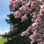 nature, tree, plant, magnolia, spring