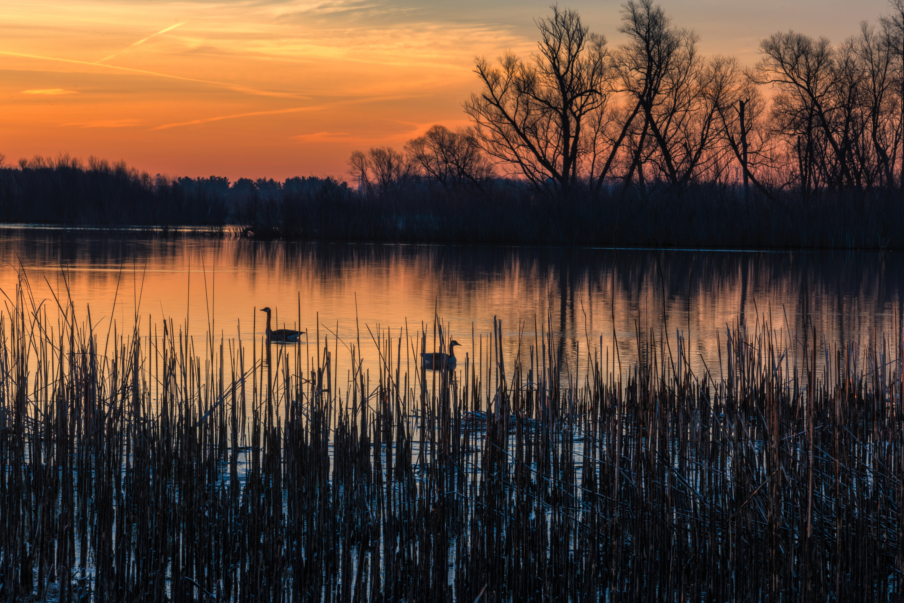 nature, wildlife, bird, goose, animal, lake, sunrise, sky