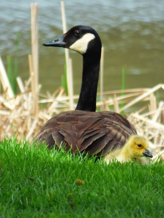 nature, wildlife, animal, bird, goose, spring