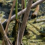 nature, wildlife, amphibian, frog, pond, lake