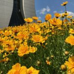 flower, plant, Wilson Hall, building, lance-leaved coreopsis