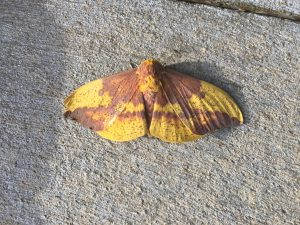 nature, wildlife, moth, imperial moth, insect, animal