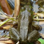 nature, wildlife, amphibian, frog, bullfrog, water, pond