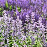 nature, plant, lavender, flower