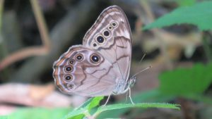 nature, wildlife, animal, insect, butterly, pearly eye wood nymph